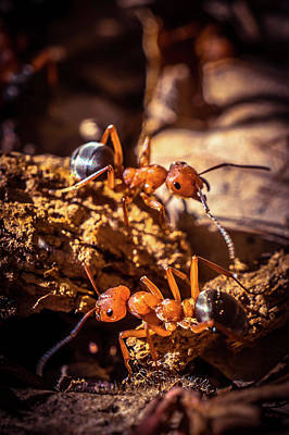 Photograph - Couple Of Ants by Lilia D