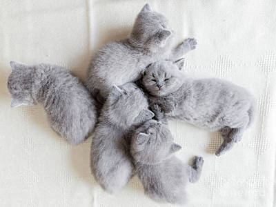 Photograph - Couple Of Fluffy Kittens Sleeping. British Shorthair Cats. by Michal Bednarek