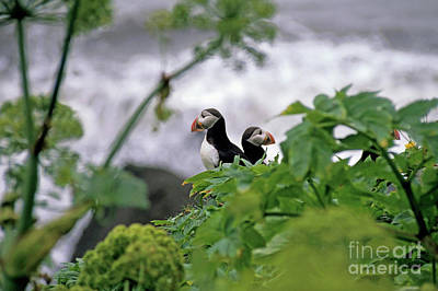 Couple Of Puffins Perched On A Rock Art Print by Sami Sarkis