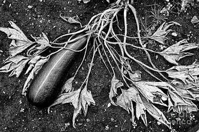 Home Grown Photograph - Courgette Parthenon Monochrome by Tim Gainey