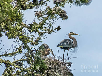 Photograph - Courting Herons 2 by Kate Brown