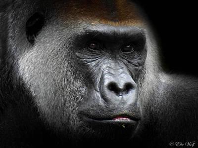 Gorilla Photograph - Cousin by Elie Wolf