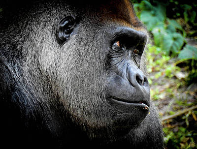 Silverback Photograph - Cousin, No. 51 by Elie Wolf