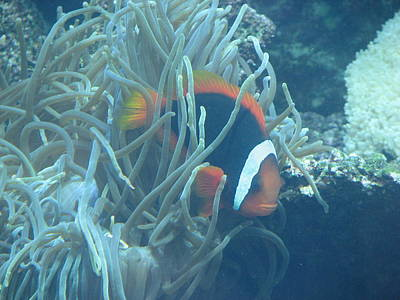 Photograph - Cousin Of Nemo by April Camenisch