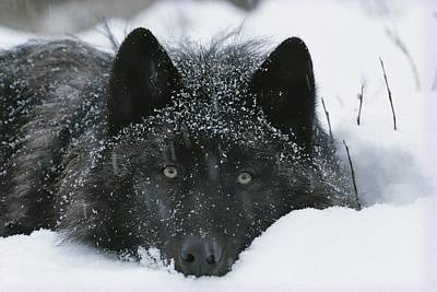 Natural Forces Photograph - Covered With Snow Flakes, A Gray Wolf by Jim And Jamie Dutcher