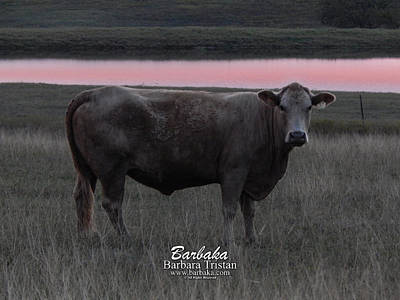 Photograph - Cow #5106 by Barbara Tristan