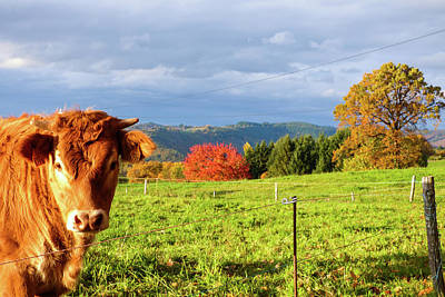 Photograph - Cow And Autumn Colors  by Helissa Grundemann