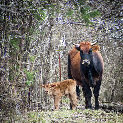 Photograph - Cow And Calf by Cheryl McClure