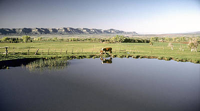 Photograph - Cow And Calf Reflected In Pond Accross From Mesa Verde. by John Brink
