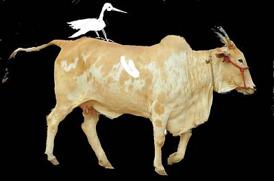 Photograph - Cow And Crane by Anand Swaroop Manchiraju