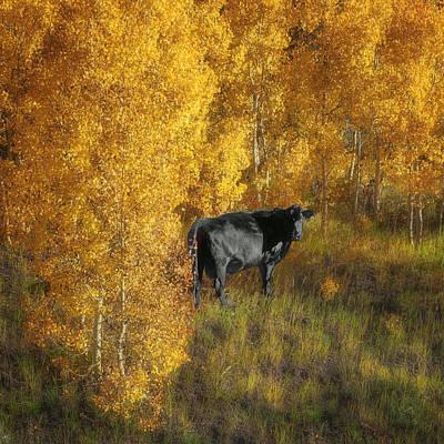 Open Range Photograph - Cow - Autumn Aspens by Nikolyn McDonald