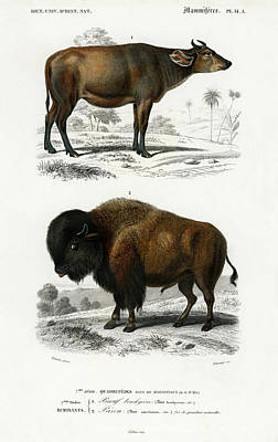 Painting - Cow Bos Brachyceros And Bison Bos Americanus  by Charles Dessalines D' Orbigny