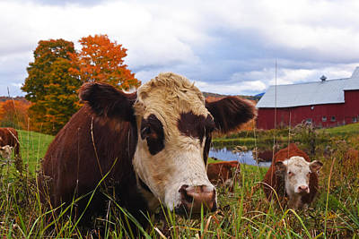 Photograph - Cow Chilling Out At Jenne Farm Reading Vt Vermont by Toby McGuire
