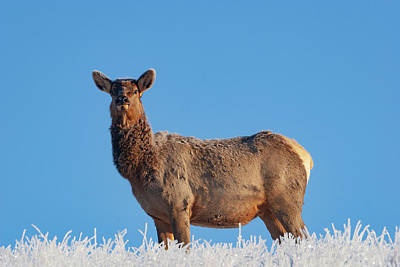 Photograph - Cow Elk Frost And Blue Sky by Mark Miller