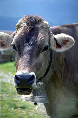 Photograph - Cow by Flavia Westerwelle