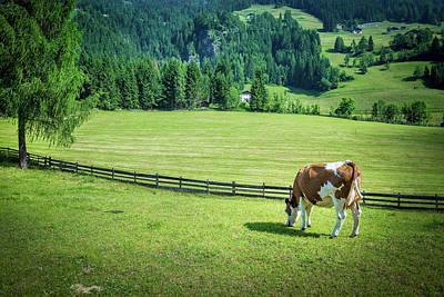 Photograph - Cow Grazing by Alfio Finocchiaro