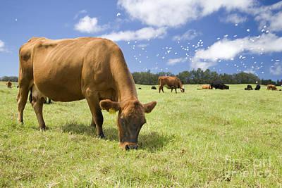 Cow Grazing Art Print