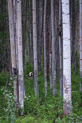 Photograph - Cow In Aspen Trees by Mary Lee Dereske