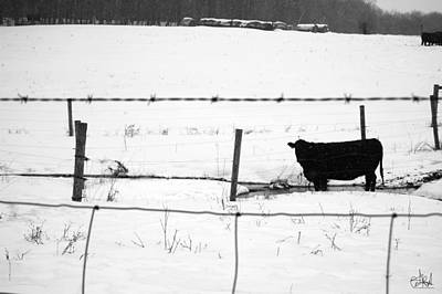 Wall Art - Photograph - Cow In The Snow by Cate Rubin