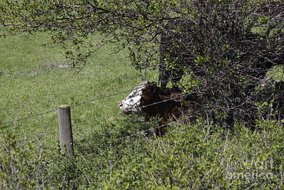 Photograph - Cow Laying Under A Tree by Donna Munro