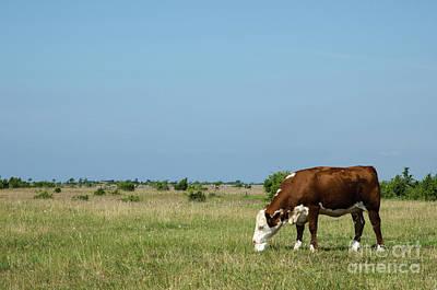 Photograph - Cow Licks On A Block Of Salt by Kennerth and Birgitta Kullman