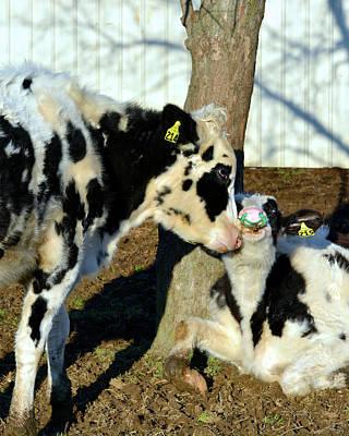 Photograph - Cow Love by Tana Reiff