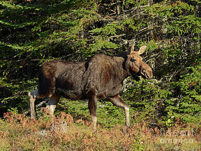 Photograph - Cow Moose by Alana Ranney