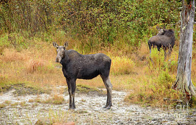 Photograph - Cow Moose And Calf by Alana Ranney