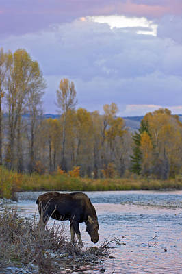 Gros Ventre Photograph - Cow Moose Evening Drink by Gary Langley