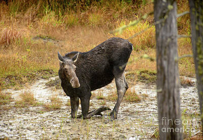 Photograph - Cow Moose Getting A Drink by Alana Ranney