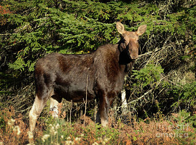 Photograph - Cow Moose II by Alana Ranney