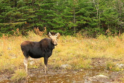 Photograph - Cow Moose In Wetland by John Burk