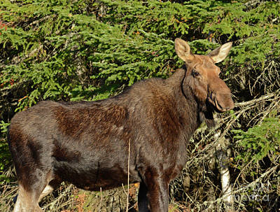 Photograph - Cow Moose Up Close by Alana Ranney