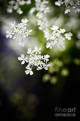 Cow Parsley Wall Art - Photograph - Cow Parsley by Kati Finell
