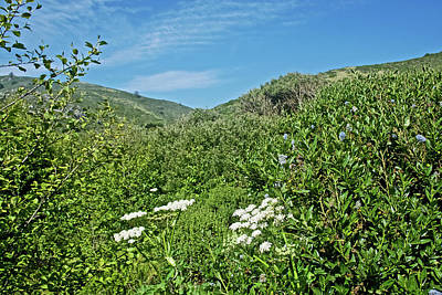 Photograph - Cow Parsnip And Ceanothus In Hills Above Muir Beach In Muir Redwoods National Monument, California by Ruth Hager