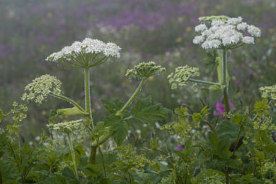 Photograph - Cow Parsnip In The Mist by Robert Potts