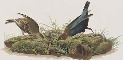 Pen Drawing - Cow-pen Bird by John James Audubon
