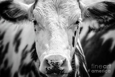 Photograph - Cow Portrait by Delphimages Photo Creations