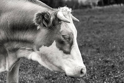 Photograph - Cow Portrait by Martin Capek