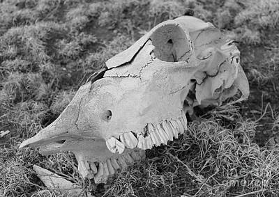 Photograph - Cow Skull by Pamela Walrath