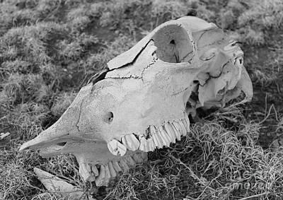 Photograph - Cow Skull by Pamela Walrath