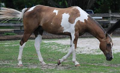 Photograph - Cow Spotted Horse by Rob Hans