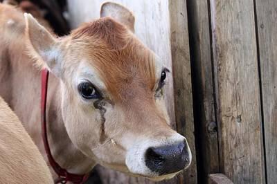 Cow Tear Art Print by Bonnie Brann