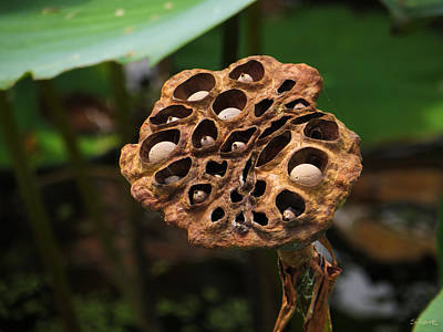 Photograph - Cowardly Lotus Pod by Shawna Rowe
