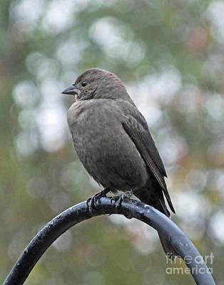 Photograph - Cowbird 1 by Lizi Beard-Ward