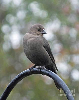 Photograph - Cowbird 2 by Lizi Beard-Ward