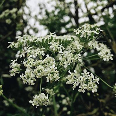 Warwickshire Photograph - #cowparsley #anthriscussylvestris by Emma Gillett
