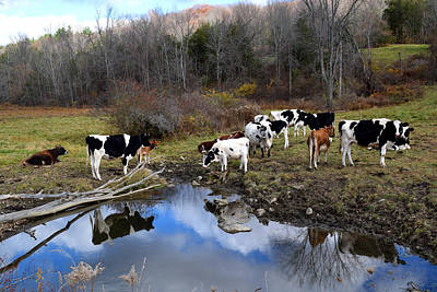 Photograph - Cows And Reflection New York State by Diane Lent