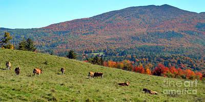 Cows Enjoying Vermont Autumn Art Print by Catherine Sherman