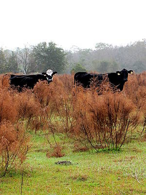Photograph - Cows In A Pasture   by Chris Mercer